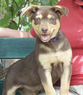 AUSTRALIAN KELPIE PUPPIES FOR SALE
