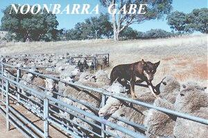 NOONBARRA GABE BACKING IN THE YARDS. 1980'S