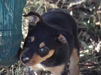 Noonbarra Kelpie Breeders Family Pets From Australian Kelpie Breeders