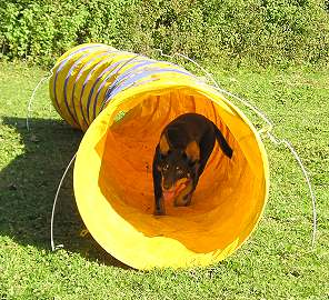Noonbarra Mudgee in Switzerland - Flyball Frisbee Agility: Australian Working Kelpies and Dog Sports