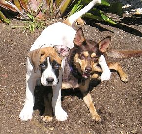 Aetv95579678 further 707 also Finn The Fun Lab Mix Adopted furthermore Download Free Gravely Mower Repair Manual Software besides Border Collie Dog Collar Border Collie Dog Collar Border Collie Dog. on great dane owners manual