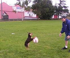 Noonbarra Tally and soccer ball - Flyball Frisbee Agility: Australian Working Kelpies and Dog Sports
