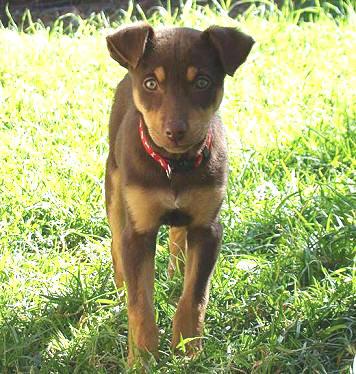 Noonbarra Kelpie Breeders Family Pets From Australian