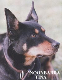 NOONBARRA TINA - One of our best Kelpies
